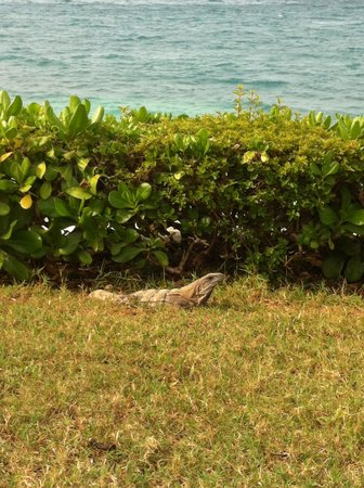 Hotel Dos Playas Beach House: Iguanas migle among the guests all the time.
