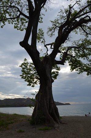 Hotel Riu Guanacaste: Guanacaste Beach Tree