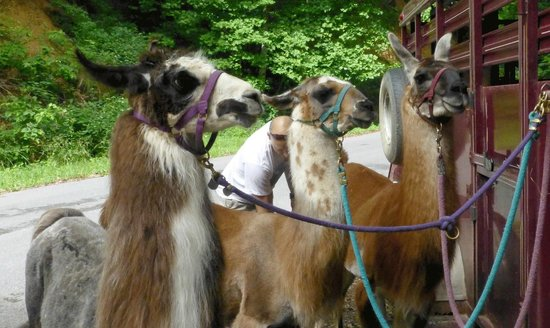 Smoky Mountain Llama Treks - Day Tours : Coo-Coo, Taylee, and JJ Bird