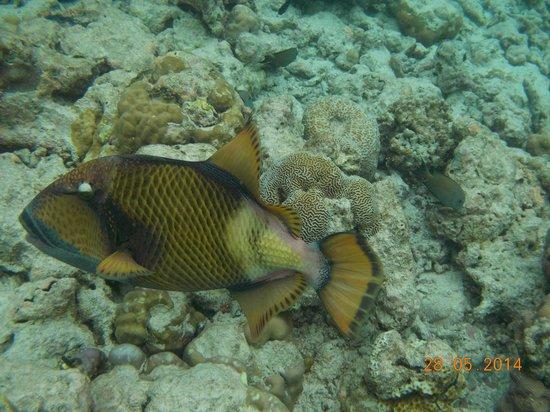 Adaaran Select Meedhupparu : A Trigger fish