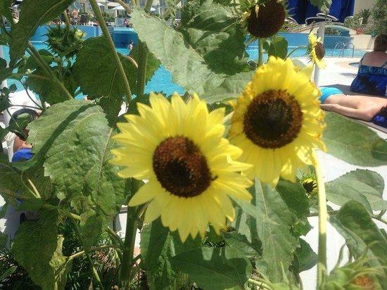 Atrium Platinum Hotel : Sunflowers round the Pool