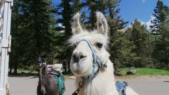 Wild Earth Llama Adventures: Llama love