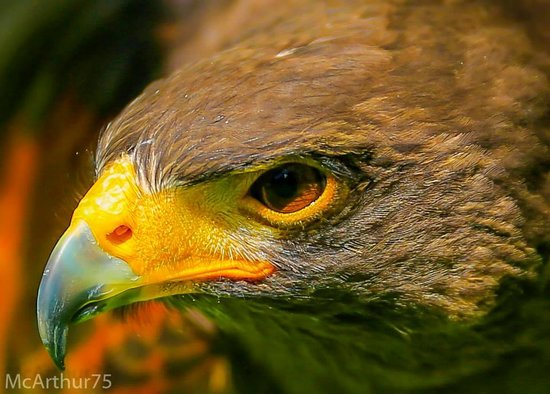 West Sussex Falconry: harris hawk