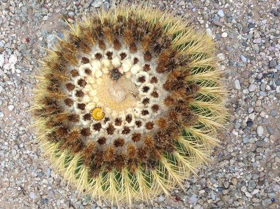 Hacienda Del Sol Guest Ranch Resort : Cactus in garden