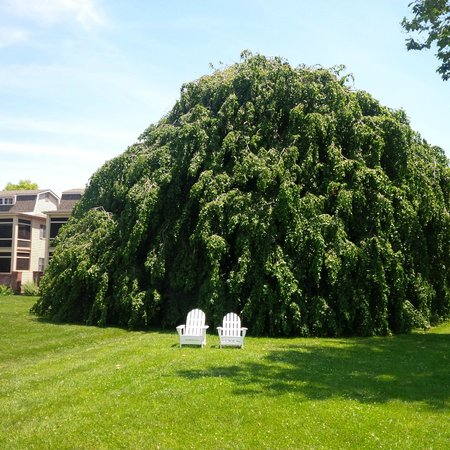Sandaway Waterfront Lodging: 115 year old hanging beech tree on the grounds