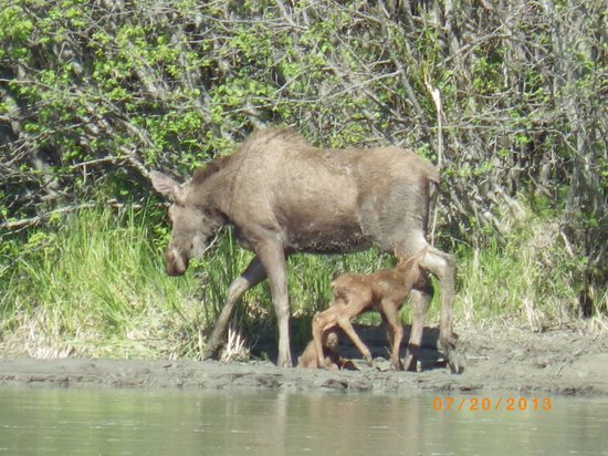 Chilkat River Adventures : Moose and her young