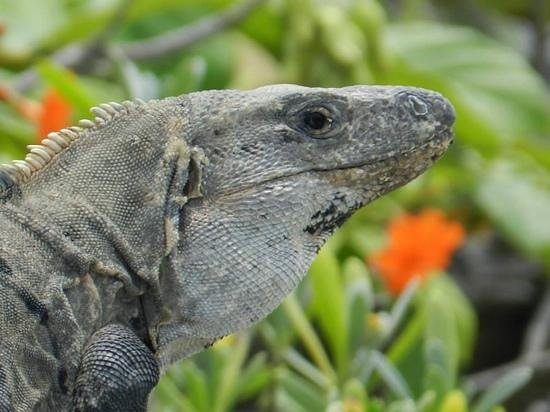 Hotel Riu Yucatan: Iguana
