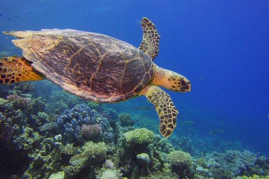 Stella Di Mare Beach Resort & Spa Makadi Bay: Schildkröte