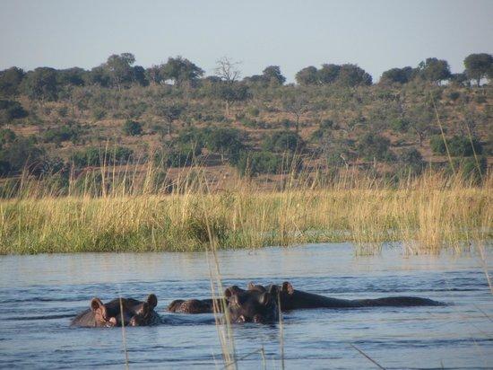 Ichingo Chobe River Lodge - Zambezi Queen Collection : Hippos on the River