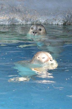 Mystic Aquarium : Harbor seals