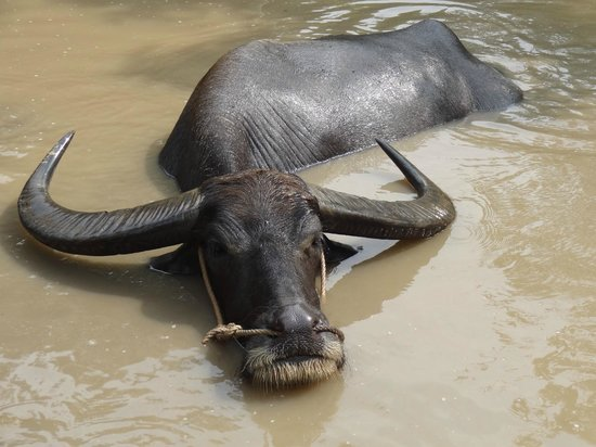 Tan An, Vietnam: Buffalo fighting the heat
