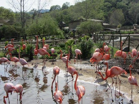 Safari West: Flamingos
