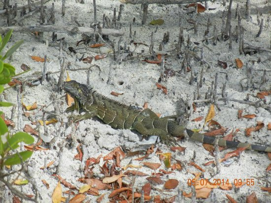 Anne's Beach: Cool Iguana