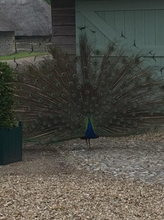 Bailiffscourt Hotel: The famous peacock in the grounds