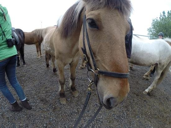 Islenski Hesturinn, The Icelandic Horse - Riding Tours: Beautiful Gaukur