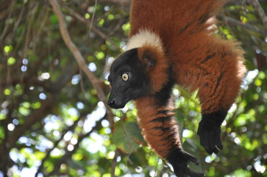 Gumption's Tours BVI : Red Lemur