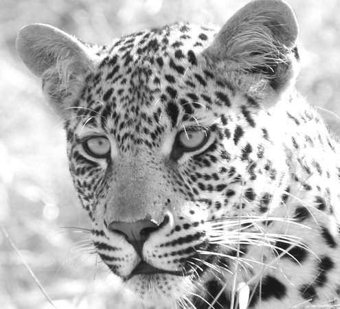 andBeyond Ngala Safari Lodge: We saw Leopards eating an Impala