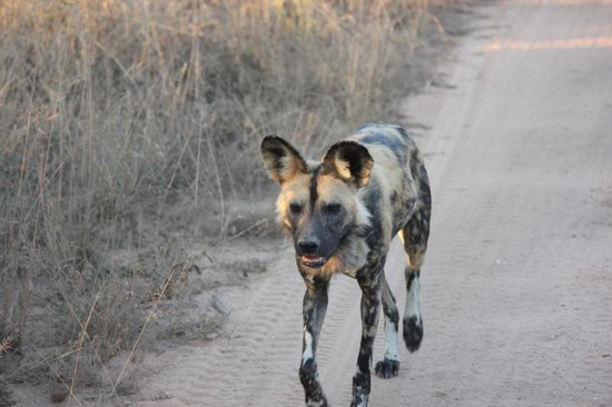 andBeyond Ngala Safari Lodge: We saw six wild dogs