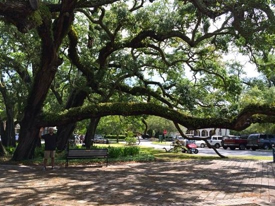 Jameson Inn: These are the trees in Jekyll Island