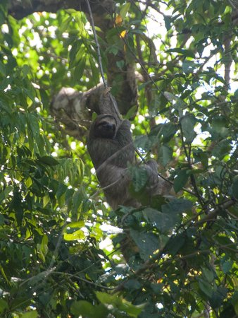 Playa Manuel Antonio: Sloth making its getaway