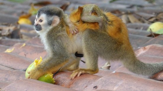 Mango Moon Villa: Squirrel Monkey with Baby Munching on a Mango - Guest Photo