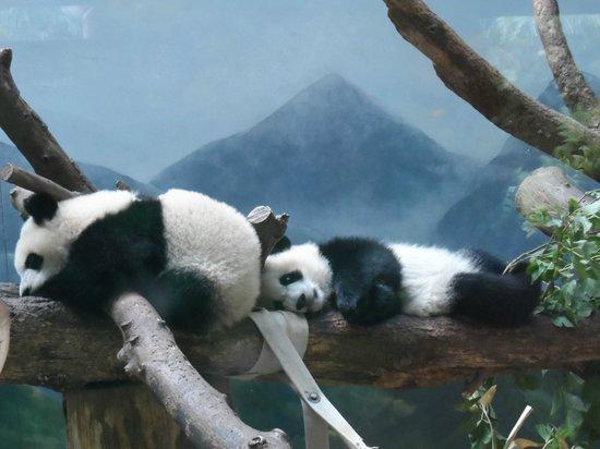 Zoo Atlanta: Twin baby Pandas