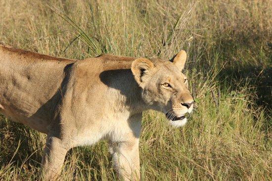 andBeyond Nxabega Okavango Tented Camp : Beautiful female lions