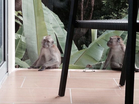 Ambong Ambong: A close up with playful macaques at the balcony