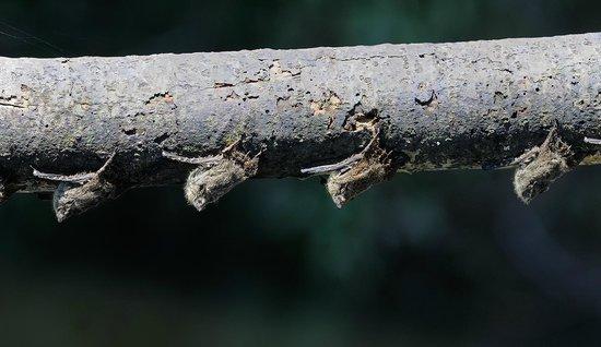 Pacaya Samiria Amazon Lodge: Murielagos
