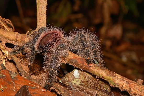 Pacaya Samiria Amazon Lodge : Tarantula