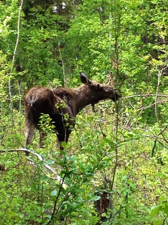 Kerry Wood Nature Centre: Moose