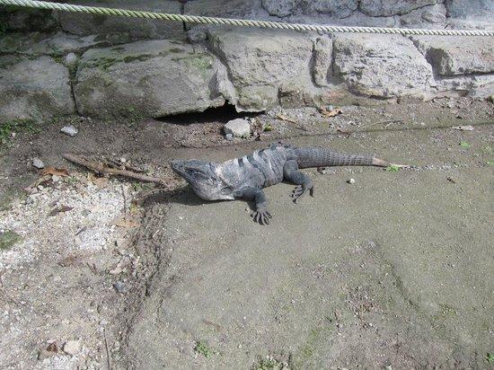San Gervasio Mayan Archaeological Site: Iguana