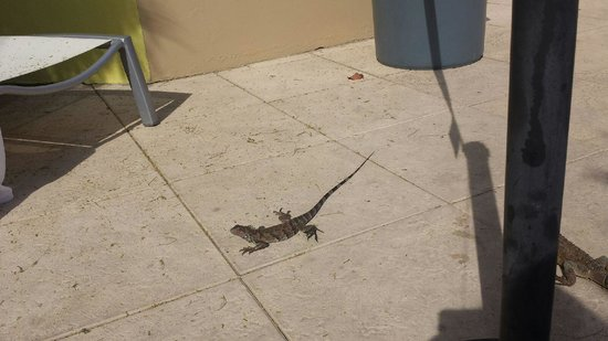 Brickell Bay Beach Club & Spa: iguana running around pool