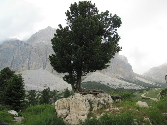 Passo Falzarego: Un albero solitario
