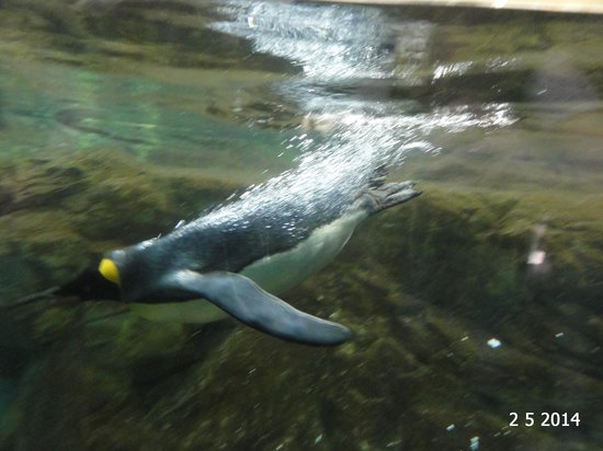 Tiergarten Schoenbrunn - Zoo Vienna: Penguin going for a dive