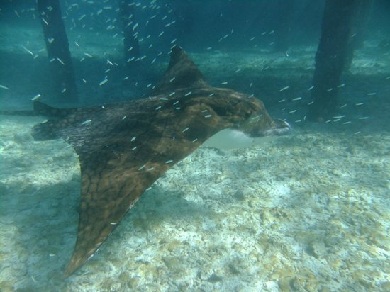 Komandoo Maldives Island Resort: Eagle ray