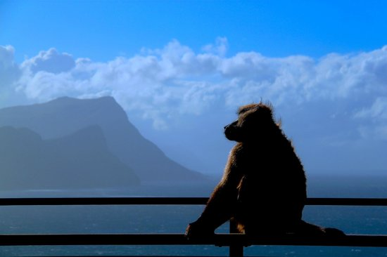 Two Oceans Restaurant: Baboon on the deck