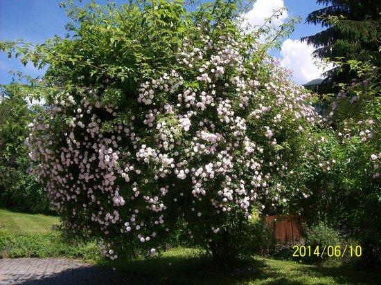 Haus Loidl: Rosenbaum im Garten