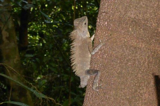 Bunga Raya Island Resort & Spa : Chameleon seen on nature walk