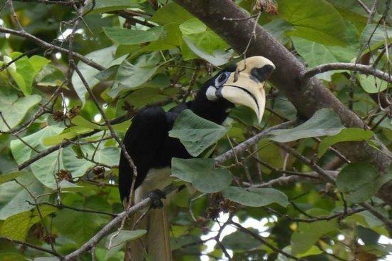Bunga Raya Island Resort & Spa : Hornbill