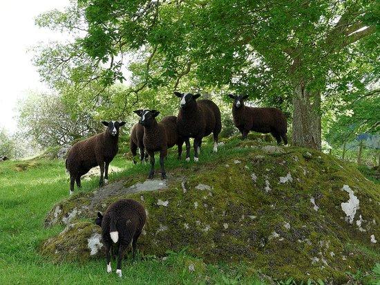 Fairy Glen: The Zwartbles sheep