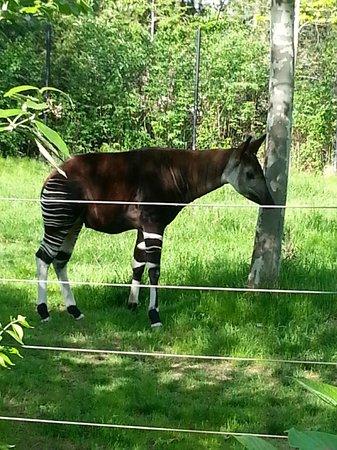 Columbus Zoo: Okapi