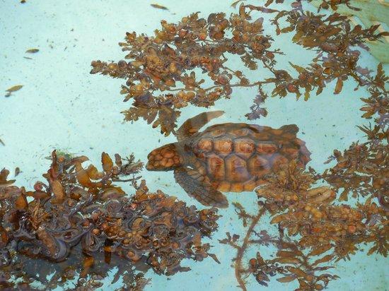 Loggerhead Marinelife Center: Baby Turtles