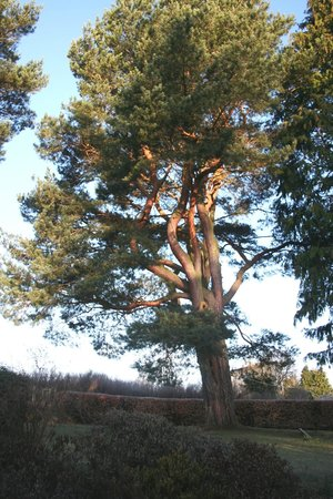 Netherfield Bed and Breakfast: Our Scots Pine 200yr old