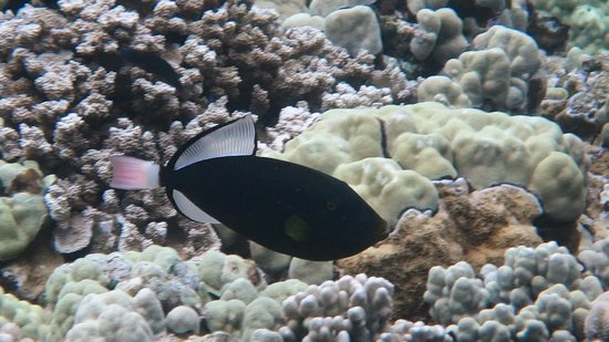 Trilogy Excursions : Pinktail Triggerfish