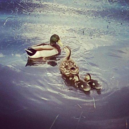 Lake of the Woods Resort: Ducks!