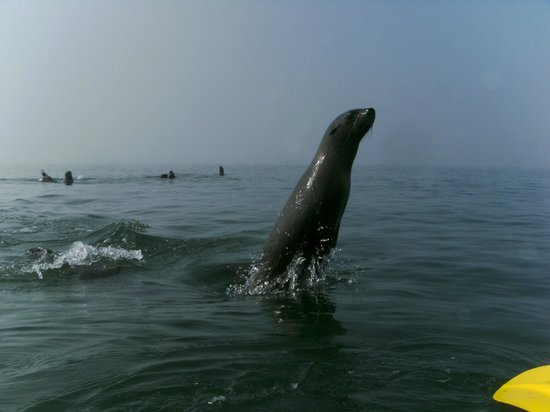 Eco Marine Kayak Tours: Seals playing arund your kayak