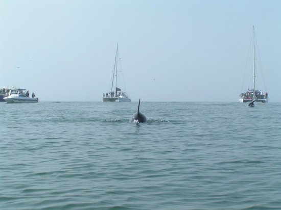 "Eco Marine Kayak Tours: Bottlenose dolphin in ""attack"""