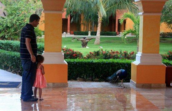 Iberostar Paraiso Beach: Peacocks wandering the halls