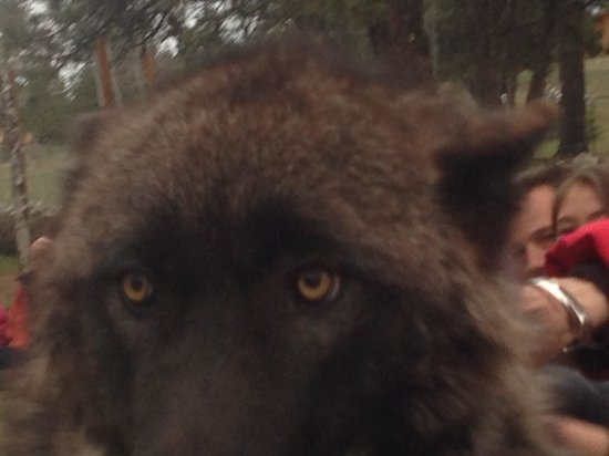 Colorado Wolf and Wildlife Center : Kenyi up close